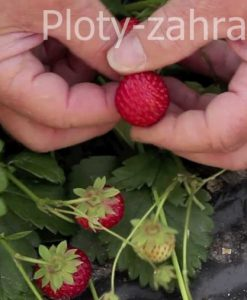 Záhradná fólia pod jahody cená, zabraňuje rastu buriny a zvyšuje produkciu